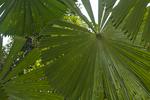 Fan palm (Licuala ramsayi) in the Daintree Rainforest in Northern Queensland Australia