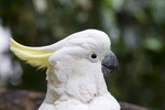 Sulphur-crested cockatoo at the Cairns Tropical Zoo in Queensland Australia