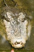 Saltwater (estuarine) crocodile (Crocodylus porosus) at the Cairns Tropical Zoo in Queensland Australia