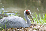 Brolga crane incubating egg on nest at the Cairns Tropical Zoo in Queensland Australia