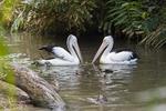 Australian pelicans at the Cairns Tropical Zoo in Queensland Australia