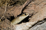 Eastern brown snake (second most toxic snake on earth) in the Cairns Tropical Zoo in Queensland Australia