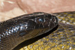 Inland taipan (most venomous land snake in the world)