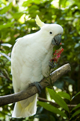 Sulphur-crested cockatoo eating flower at the Cairns Tropical Zoo in Queensland Australia