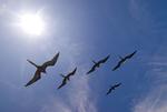 Great frigatebirds soaring over Galapagos Islands Ecuador