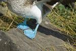 Blue-footed booby (Sula nebouxii) feet on Espanola Island in the Galapagos Islands Ecuador