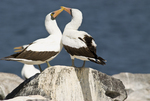 Nazca boobies (Sula granti) in courtship behavior on Espanola Island in the Galapagos Islands Ecuador