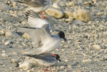 Swallow-tailed gulls (Creagrus furcatus) mating on Genovesa Island in the Galapagos Islands Ecuador