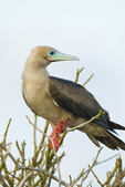 Red-footed booby in tree on Genovesa Island in the Galapagos Islands Ecuador