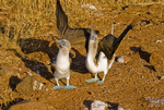 Blue-footed booby (Sula nebouxii) courtship behavior on Seymour Island in the Galapagos Islands Ecuador