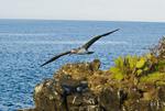 Blue-footed booby in flight near Seymour Island in the Galapagos Islands Ecuador