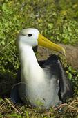 Waved albatross on Espanola Island in the Galapagos Islands Ecuador