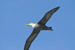 Waved albatross gliding above Espanola Island in the Galapagos Islands Ecuador