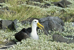 Waved albatross(Diomedea irrorata) thermoregulating (panting) on Espanola Island in the Galapagos Islands Ecuador