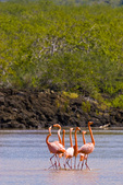 Greater flamingos (Phoenicopterus ruber) in lagoon on Floreana Island in the Galapagos Islands Ecuador