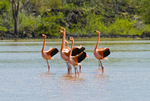 Greater flamingos in courtship