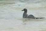 Lava gull (Leucophaeus fulginosus) bathing in ocean at Genovesa Island in the Galapagos Islands