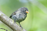 Small ground finch (Geospiza fuliginosa) one of Darwin's finches on Santa Cruz Island in the Galapagos Islands Ecuador