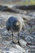 Lava gull (Leucophaeus fulginosus) on Genovesa Island in the Galapagos Islands Ecuador