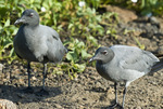 Lava gulls (Leucophaeus fulginosus) on Genovesa Island in the Galapagos Islands Ecuador