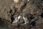 Endangered Galapagos penguins (Spheniscus mendiculus) on Bartolome Island in the Galapagos Islands Ecuador