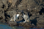 Endangered Galapagos penguins (Spheniscus mendiculus) mutual preening on Bartolome Island in the Galapagos Islands Ecuador