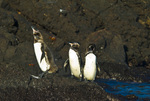 Endangered Galapagos penguins (Spheniscus mendiculus) on Bartolome Island in the Galapagos Islands Ecuador