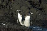 Endangered Galapagos penguin pair (Spheniscus mendiculus) on Bartolome Island in the Galapagos Islands Ecuador
