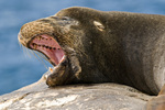 Galapagos sea lion (Zalophus wollebaeki) yawning on rock on South Plaza Island in the Galapagos Islands Ecuador