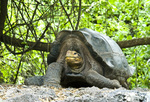 Galapagos giant tortoise (Geochelone elephantopus) at the Darwin Research Station on Santa Cruz Island in the Galapagos Islands Ecuador