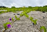 Beach morning glory (Ipomoea pes-caprae) on Santiago Island in the Galapagos Islands Ecuador