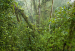 Cloud forest in northern Ecuador