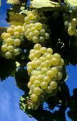 Chardonnay wine grapes in vineyard in SW Idaho