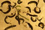 Hydropsychid caddisfly larvae