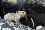 Pika (Ochotona princeps) with partially-engorged tick on face calling in the Frank Church - River of No Return Wilderness ID