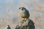 Male California quail (Callipepla californica)