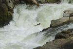 Chinook salmon jumping Dagger Falls on the Middle Fork of the Salmon River ID
