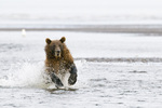 Brown bear (Ursus arctos) chasing salmon in Lake Clark National Park Alaska