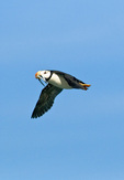 Horned puffin (Fratercula corniculata) in flight with fish in its beak on Duck Island in Lake Clark National Park