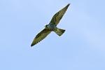 Peregrine falcon in flight in Lake Clark National Park Alaska