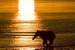 Brown bear running with salmon at sunrise along Cook Inlet in Lake Clark National Park Alaska