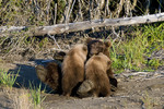 Brown bear sow nursing cubs in Lake Clark National Park Alaska
