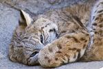 Captive bobcat (Lynx rufus) at The Living Desert zoo at Palm Desert CA