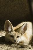 Fennec fox (Vulpes zerda) at The Living Desert zoo in Palm Desert CA