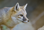 Captive northern swift fox (Vulpes velox hebes) at The Living Desert zoo at Palm Desert CA