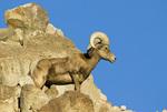 Desert bighorn sheep (Ovis canadensis nelsoni) at The Living Desert zoo at Palm Desert CA