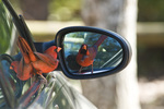 Male northern cardinal (Cardinalis cardinalis) fighting his reflection in a side view mirror on a car in NW Florida