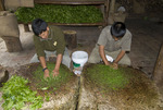 Peruvians processing tea leaves at Aquas Calientes Peru