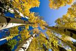 Quaking aspen grove in autumn in southeast Idaho