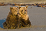 Brown bear cubs on beach in Lake Clark National Park Alaska